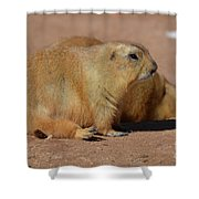 Adorable Pair Of Chubby Black Tailed Prairie Dogs Shower Curtain