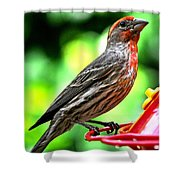 Adult Male House Finch Shower Curtain