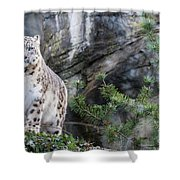Adult Snow Leopard Standing On Rocky Ledge Shower Curtain