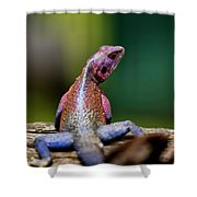 African Agama Lizard  Shower Curtain