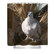 African Collared Dove 3 Shower Curtain