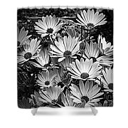 African Daisies In Black And White Shower Curtain