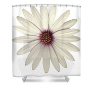African Daisy With White Petals Shower Curtain