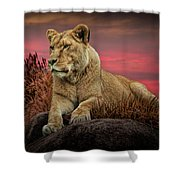 African Female Lion In The Grass At Sunset Shower Curtain