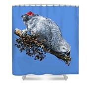 African Grey Parrot A Shower Curtain