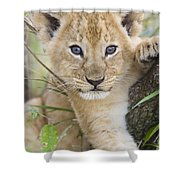 African Lion Cub Kenya Shower Curtain by Suzi Eszterhas