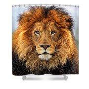 African Lion 1 Shower Curtain