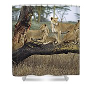 African Lion Panthera Leo Family Shower Curtain by Konrad Wothe