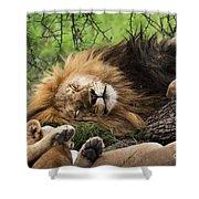 African Lion Sleeping In Serengeti Shower Curtain
