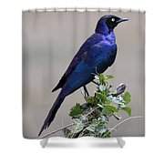African White Eye Starling Shower Curtain