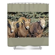 After The Rut Bighorn Sheep Shower Curtain