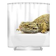 Agama Lizard  Shower Curtain
