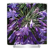 Agapanthus Flowers In Purple - New And Old Shower Curtain
