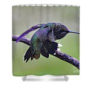 Aggressive Behavior - Ruby-throated Hummingbird Shower Curtain