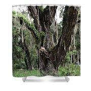 Aging Oak Tree Shower Curtain