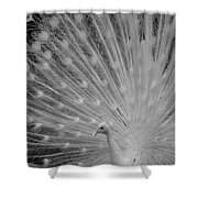 Albino Peacock In Black And White Shower Curtain