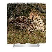 Alert Cheetah Shower Curtain