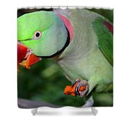 Alexandrine Parrot Feeding Shower Curtain