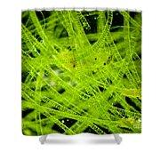 Algae Spirogyra Sp., Lm Shower Curtain