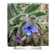 Alkanna Strigosa Shower Curtain
