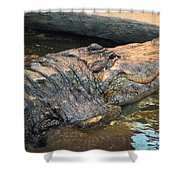 Crocodile Time  Shower Curtain