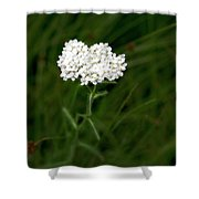 Alpine Yarrow Wildflower 1 Shower Curtain