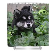Alusky Pup Peaking Out Of Green Foliage Shower Curtain