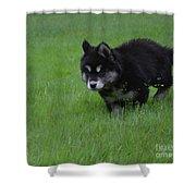 Alusky Puppy Creeping Through Green Grass Shower Curtain