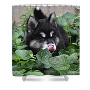 Alusky Puppy Dog Licking The Tip Of His Nose Shower Curtain