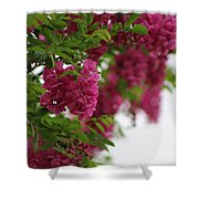 Amaranth Pink Flowering Locust Tree In Spring Rain Shower Curtain