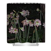 Amaryllis At Night After A Rain Shower Curtain