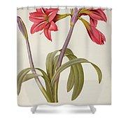 Amaryllis Brasiliensis Shower Curtain