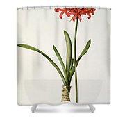 Amaryllis Curvifolia Shower Curtain