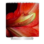 Amaryllis Flower About To Bloom Shower Curtain