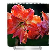 Amaryllis In February 5472 Shower Curtain