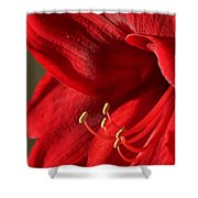Amaryllis6689 Shower Curtain