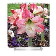 Amazing Amaryllis - Pink And White Apple Blossom Hippeastrum Hybrid Shower Curtain