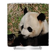 Amazing Panda Bear Holding On To Shoots Of Bamboo Shower Curtain