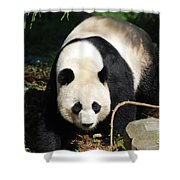 Amazing Sweet Chinese Giant Panda Bear Walking Around Shower Curtain