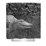 American Alligator 2 Bw Shower Curtain