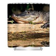 American Alligator Suns Itself Shower Curtain