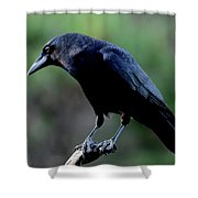 American Crow In Thought Shower Curtain