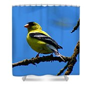 American Goldfinch 1 Shower Curtain