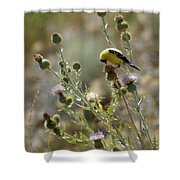 American Goldfinch Having Lunch On Bakery Hill Shower Curtain