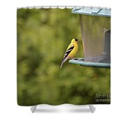 American Goldfinch No Food  Shower Curtain