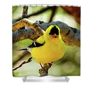 American Goldfinch On Aspen Shower Curtain