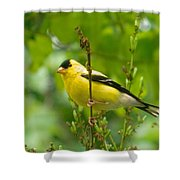 American Goldfinch Sittin' In A Tree Shower Curtain