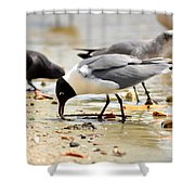 American Oyster Catcher Shower Curtain