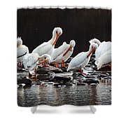 American Pelicans Shower Curtain