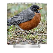 American Robin With Muddy Beak Shower Curtain